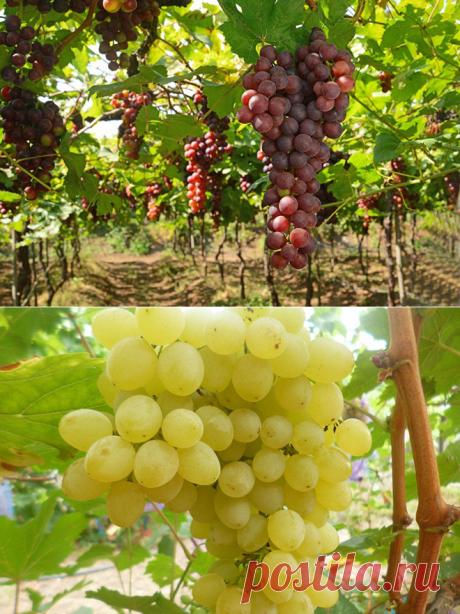 Столовый виноград: ТОП-7 лучших сортов с фото и описанием