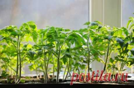 Как подкармливать рассаду томатов на подоконнике? | На грядке (Огород.ru)