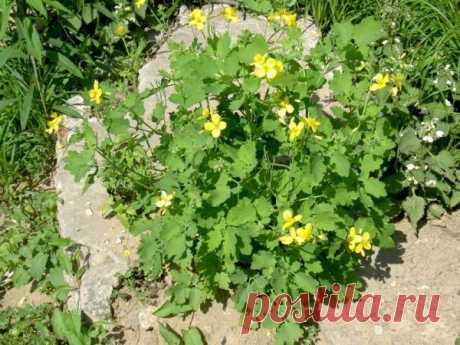 Чистотел – садовый «мойдодыр» и лекарь