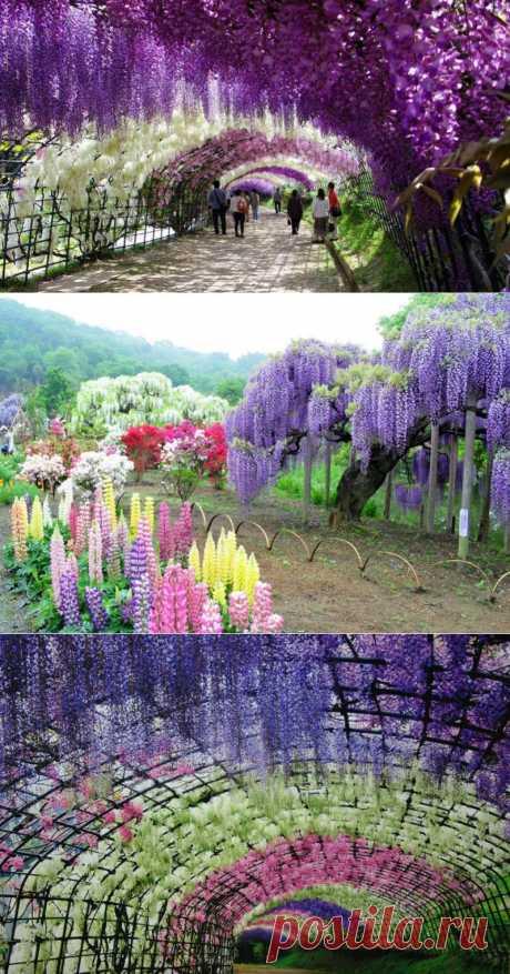 Тоннель глициний в японском саду цветов Кавати Фудзи (30 фото)