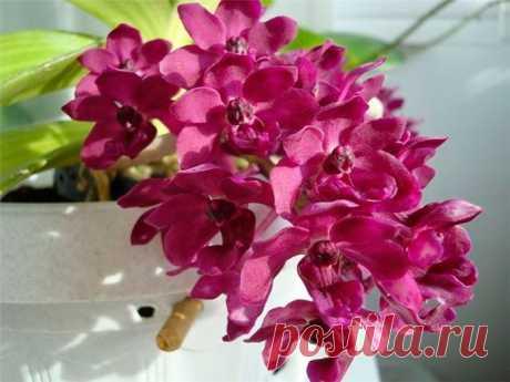 Орхидея ринхостилис: уход в домашних условиях, виды, пересадка