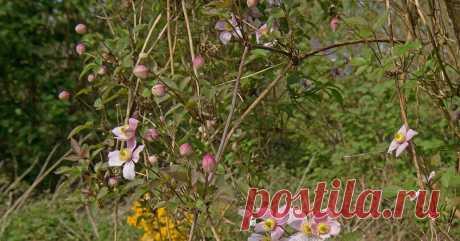 """Почему весной """"не проснулся"""" клематис Красивоцветущая лиана после зимы имеет """"бледный вид"""" и не собирается цвести или вообще выпускать новые побеги? Разбираем возможные причины проблемы."""