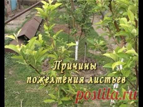Причины пожелтения листьев. Лечение супер метод.