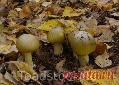 Что надо знать о бледной поганке | Это грибы! | Яндекс Дзен