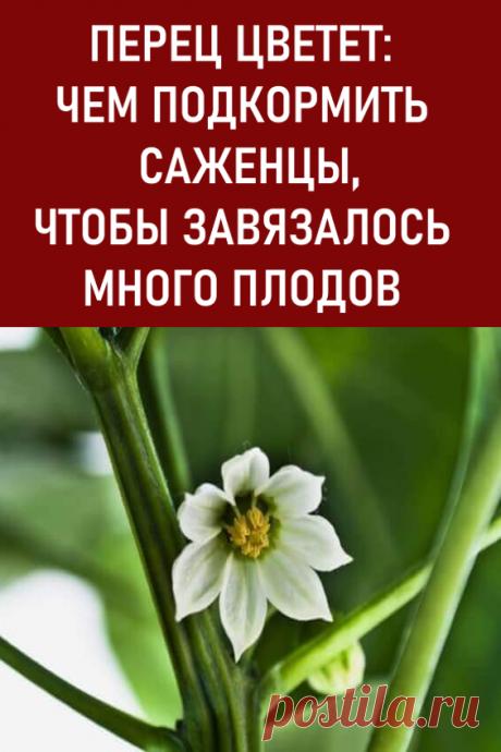 Перец цветет: чем подкормить саженцы, чтобы завязалось много плодов? Чем подкормить болгарские перцы в период активного цветения? #дача #огород #перец #болгарскийперец #подкормкаперца