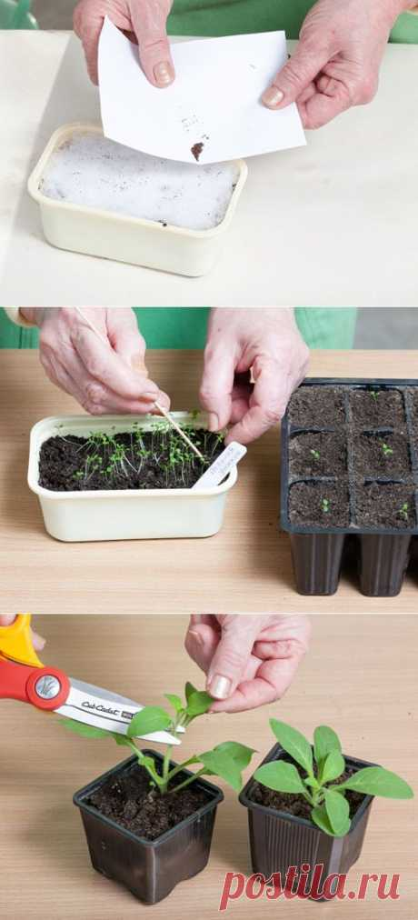 Петуния: выращивание рассады.