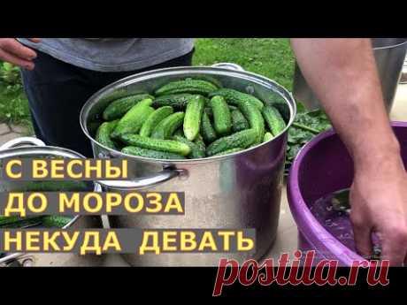 ОГУРЦЫ в ТЕПЛИЦЕ 2 лучших СПОСОБА выращивания