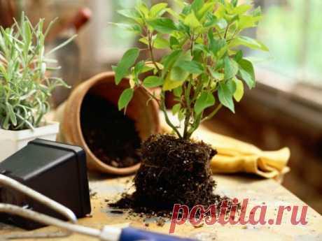 Пересаживаем растения правильно — Чудеса