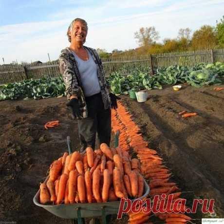 Вот такими секретами по выращиванию моркови я пользуюсь. Берите на заметку.