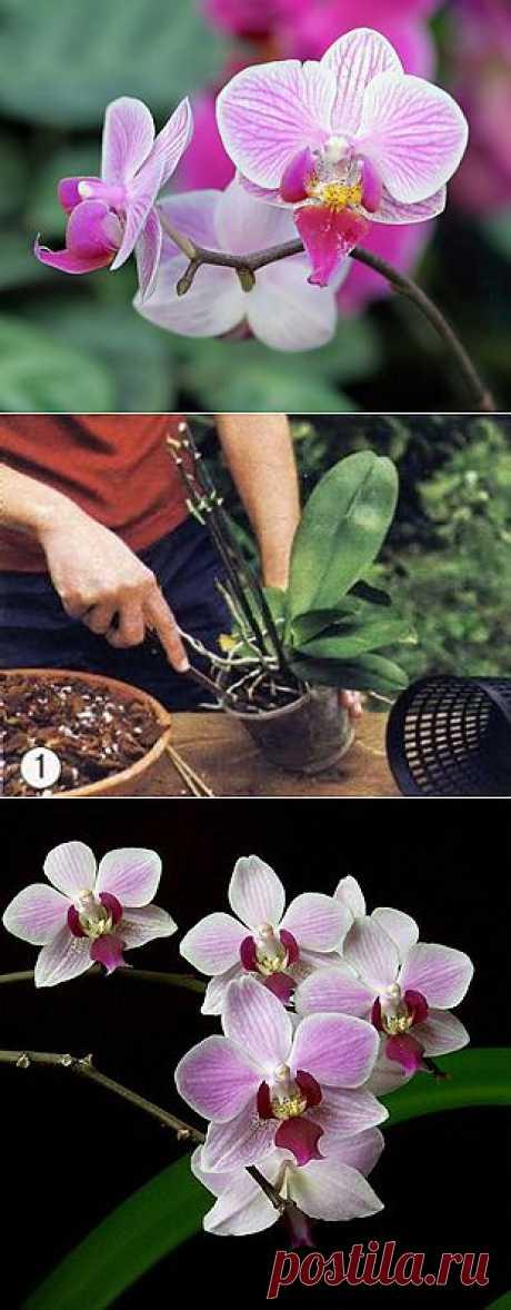 Уход за домашней орхидеей.