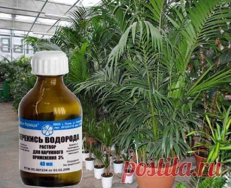Зачем поливать растения перекисью водорода