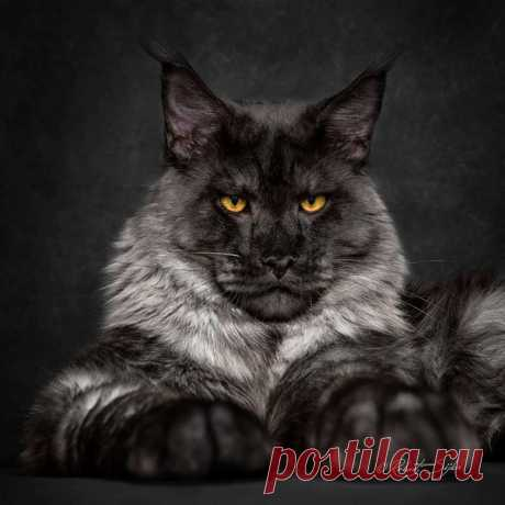 Если бы у котов были цари, то это были бы мейн-куны