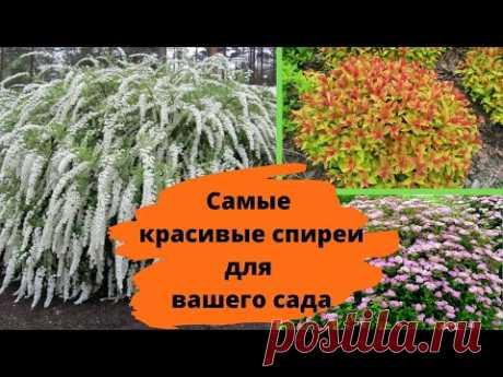 Самые красивые СПИРЕИ, которые украсят любой сад
