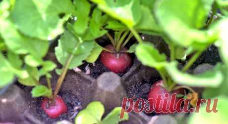 Секрет получения хорошего урожая редиса благодаря уникальному методу подсадки — Мир интересного