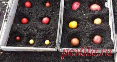 Оказывается существует довольно интересный способ посадки томатов - под зиму!