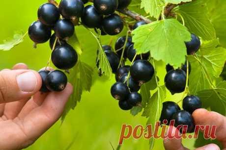 Чем и когда нужно подкармливать чёрную смородину — Садоводка