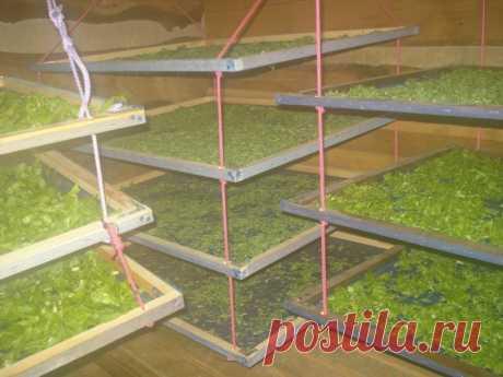El secador simplísimo para las bayas y las frutas por las manos | 6 sotok