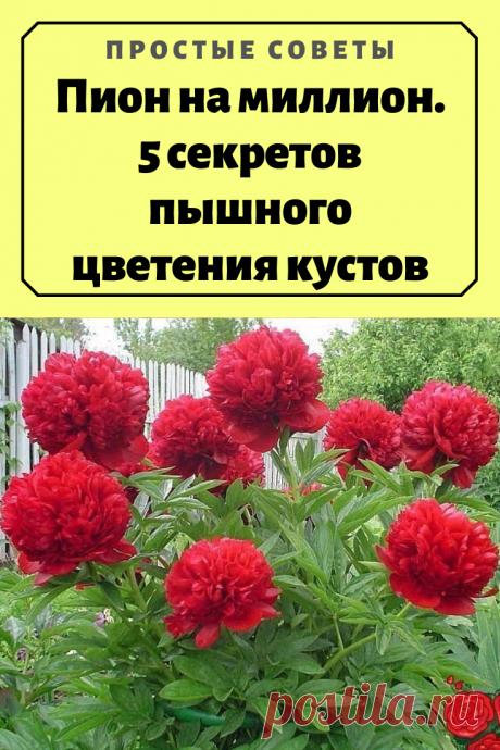 Пион на миллион. 5 секретов пышного цветения кустов — Простые советы