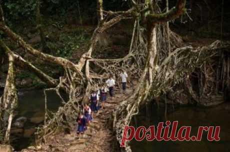 """""""Живые мосты"""" из деревьев в Индии!"""