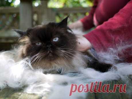 Почему кошки сильно линяют | Домашние кошки | Яндекс Дзен