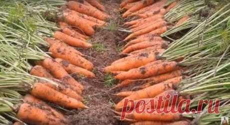 Что нужно знать, чтобы вырастить урожайную морковь   Пчеловед   Яндекс Дзен