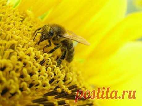 Продукты пчеловодства. Лечение цветочной пыльцой (пергой)