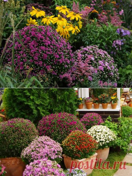 Как выращивать хризантемы мультифлора..