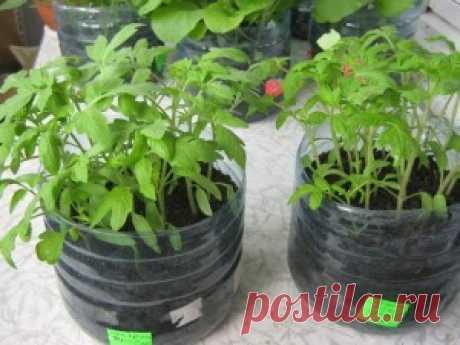 Упрощенный способ выращивания рассады   Вкусные рецепты с фото