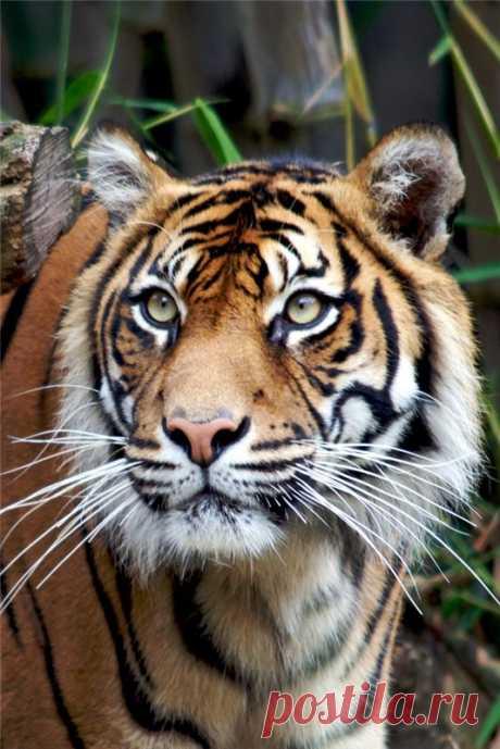 Обманчив тигра дорогой наряд...