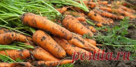 Чем подкормить морковь в августе, чтобы была крупной и хорошо хранилась? | Записки огородницы | Яндекс Дзен