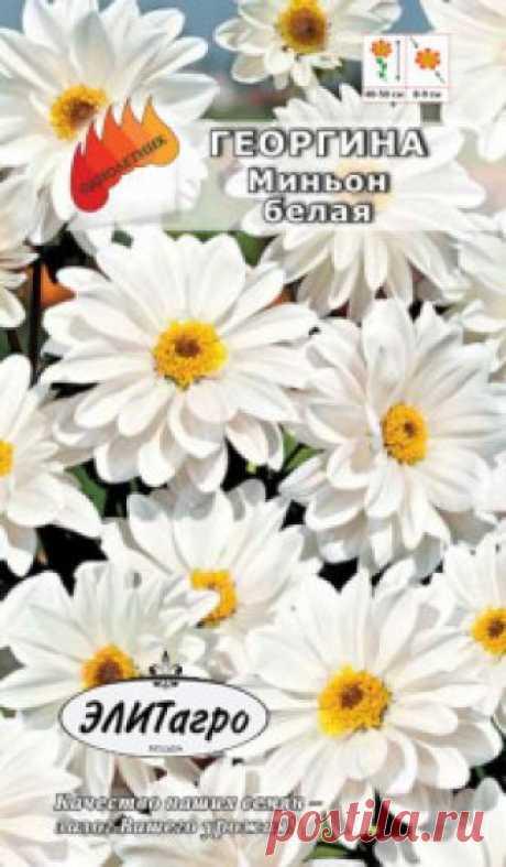 """Семена. Георгина """"Миньон Белая"""", однолетник (вес: 0,1 г) Всхожесть: 95%. Наполните сад пылающим многообразием георгин, и Вы всегда будете окружены радугой живых цветов. Это компактное невысокое растение (35 см), покоряет своими крупными, до 10 см в диаметре, яркими нарядными цветками самой разнообразной окраски. Цветение обильное и..."""