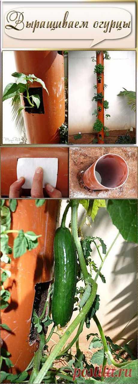 Как вам такой способ выращивания огурцов?.
