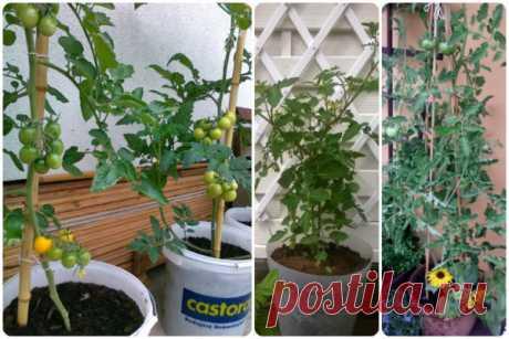 Как вырастить томаты в ведрах без дна в открытом грунте: секрет урожая