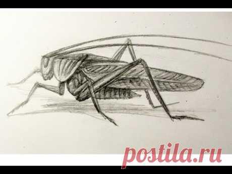 Как нарисовать кузнечика карандашом рисуем насекомых  кузнечик