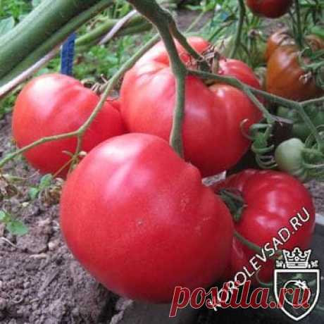 Семена томата Мичуринец купить по низкой цене, описание сорта, характеристики