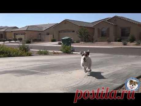 Самая умная собака в Мире попала в книгу(Гиннесса) - YouTube