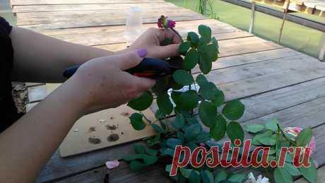 Черенкование роз осенью пора начинать. Как правильно срезать черенки роз, во что посадить. Будем наблюдать процесс укоренения в развитии. У ролика есть продо...
