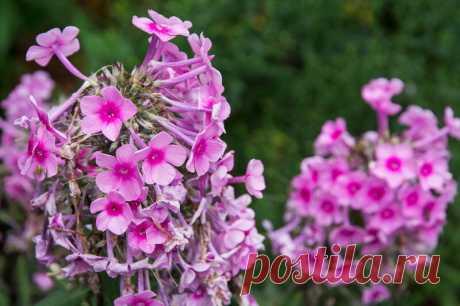 Неприхотливые цветы для клумбы: декоративные растения для лентяев или очень занятых людей   Идеальный огород   Яндекс Дзен