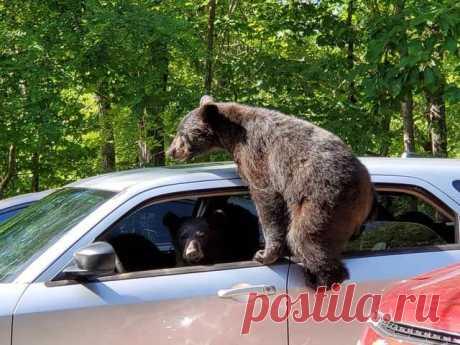 Мужик не закрыл окна в машине и медведи чуть ее не угнали . Тут забавно !!!