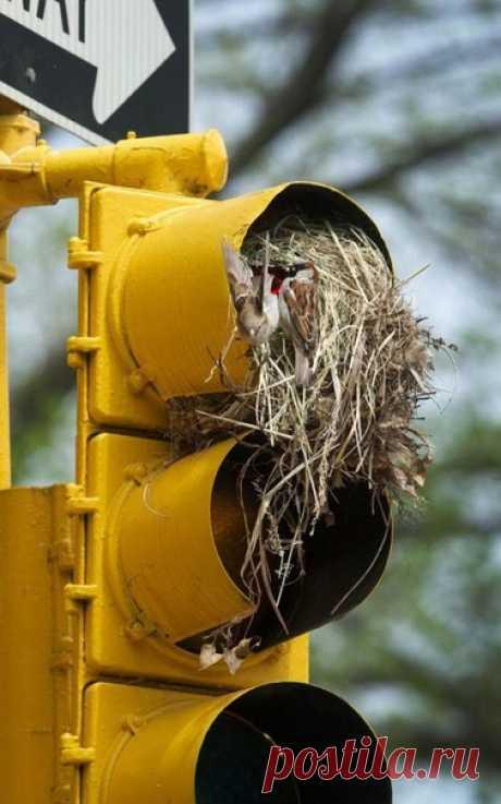 Три пары воробьёв свили гнёзда на светофорных столбах у перекрёстка возле Центрального парка в Нью-Йорке. Два гнезда заслоняют красный сигнал светофора, а третье -  желтый. / Speleologov.Net - мир кейвинга