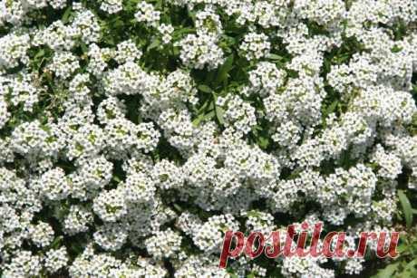 10 цветов, которые наполнят сад неповторимыми ароматами. Сорта, описание, фото — Ботаничка.ru