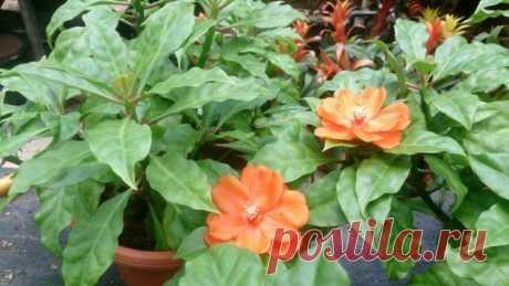 Переския оранжевая (Pereskia bleo)