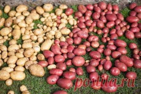 Косить, нельзя оставить – зачем избавляться от картофельной ботвы