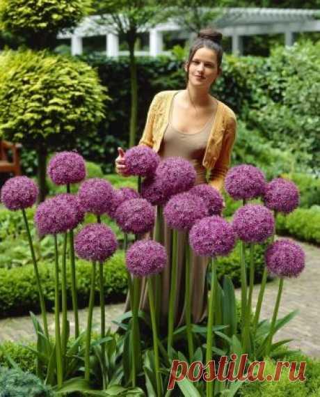 Аллиум, или декоративный лук, — идеальный цветок для наших широт. Участок преобразился! — Копилочка полезных советов