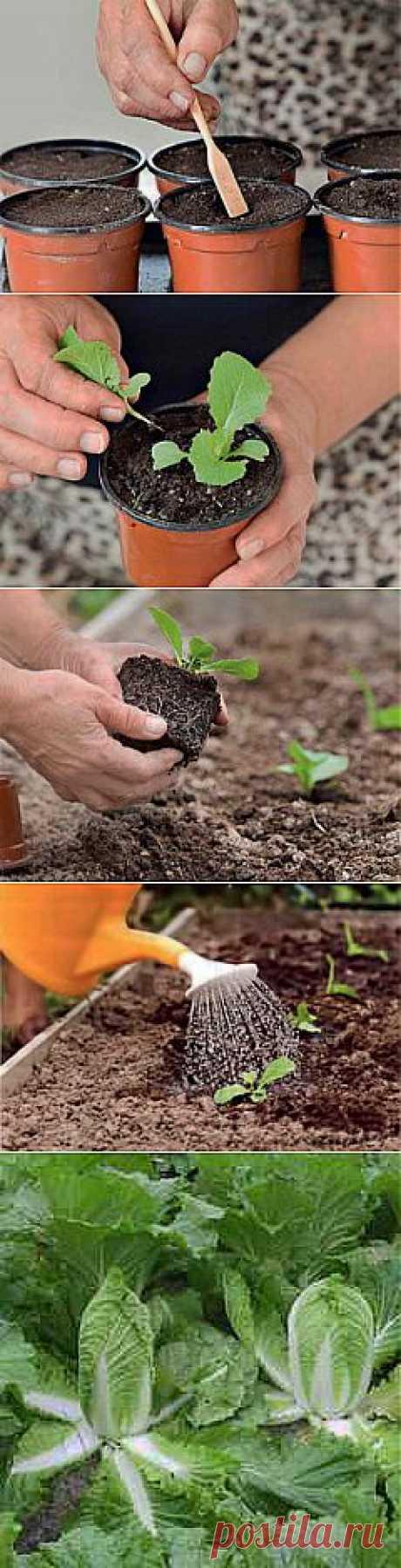 Выращивание пекинской капусты рассадным и безрассадным способом | Дача - впрок