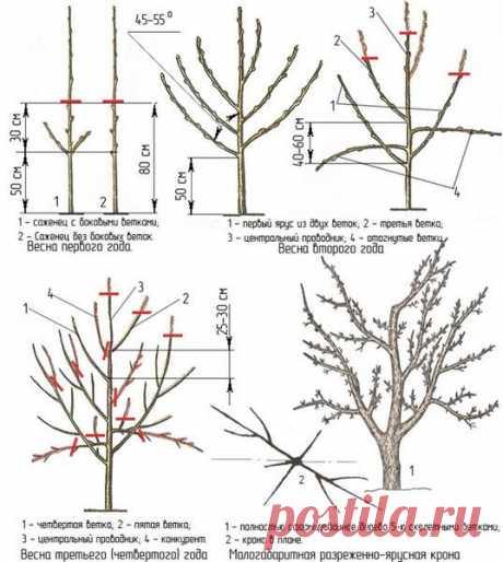 Как сформировать крону яблони: молодых и старых деревьев, виды крон, плюсы, минусы схем обрезки, частые ошибки