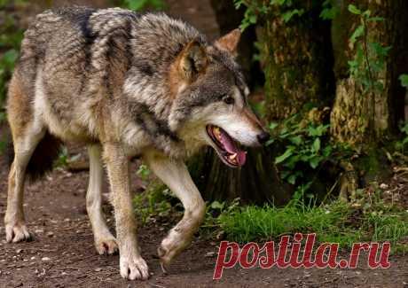 Наверное, каждый помнит сказку про серого волка, которую многим рассказывали в детстве. Он крупный хищник семейства псовые, является хозяином тундры и тайги, выносливый и умный зверь.