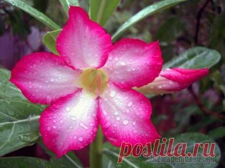 La partida en las condiciones de casa por adeniumom En la literatura se encuentra muchos nombres de esta planta encantadora. Lo llaman Zvezdoy Sabinii, la Rosa del desierto o la azucena Impalsky. La planta representa el arbusto o pequeño el arbolito, que ra...