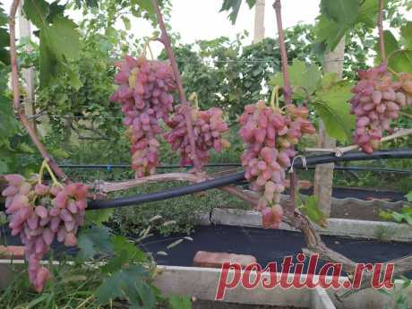 Виноград: выращивание и правильный уход. | В огороде лебеда. | Яндекс Дзен