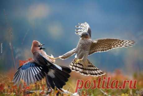Какой бы красоты ни был хищник, насколько бы уникальными ни были его перья, но моим фаворитом навсегда остается сойка. А у вас какая любимая птица и почему? Можно двух, но не более) #feathers #birds #silver_bird